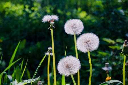 White dandelions on a green nature background.Dandelion Seed Head.Fluffy beautiful dandelions in field, meadow with flowers. Selective focus