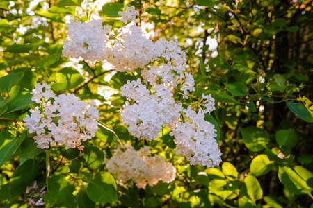 Many small flowers of summer lilac, bush in full bloom in sunny spring garden, beautiful outdoor floral background.White lilac bushes in the garden.A branch of white lilac. Spring flowers