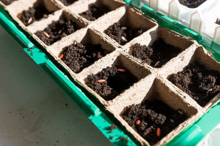 black hole trays for agricultural seedlings.The spring planting. Early seedling , grown from seeds in boxes at home on the windowsill. Agriculture,gardening, planting at home. Early seedling