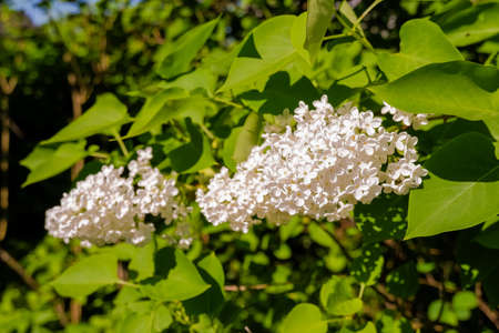 Blossoming common lilacs bush white cultivar. Springtime landscape with bunch of tender flowers. white blooming plants background on sunny day. selective focus.Branch of lilac flowers with the leaves