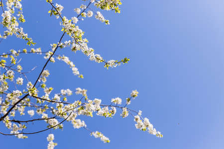 Branches of Blooming apple tree. beautiful white blossoms against blue sky, shallow field. White Cherry Blossom or Cherry tree in the spring.A lot of white flowers. copy space