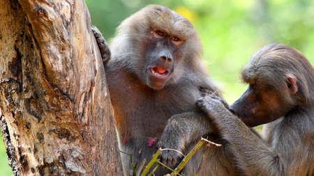 Wild monkey portrait captured in Thailand, Wildlife Standard-Bild