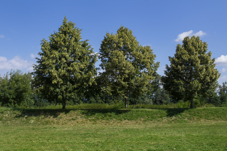 linden: Three Linden Trees Stock Photo