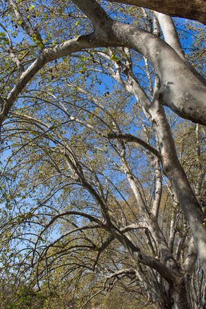 shrouds: Trees shrouds, trunks and branches with small leaves. Blue sky in the background. Stock Photo