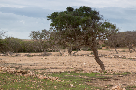 sandy soil: Important part of local agriculture: argan tree. Its leant because of the wind in the country very close to the ocean. Sandy soil with many stones. Cloudy sky.
