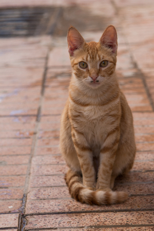polite: Serious orange cat sitting on the tone in tone tiles. Serious expression, polite way of sitting. Funny mustache.