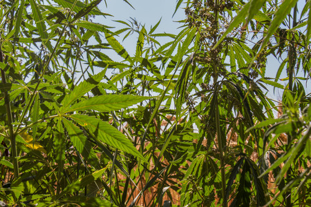grown up: Grown up cannabis forest. Blue sky in the background.