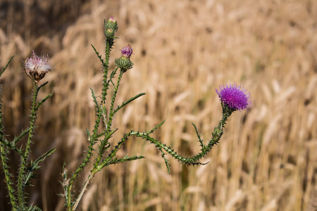 bud weed: Declined stem of thistle with a purple flower. Golden summer cereals field in the background.