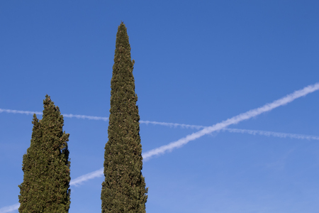 Crown of couple of pine trees of various height. Bright blue sky with airplane trails. Island Krk, Croatia.