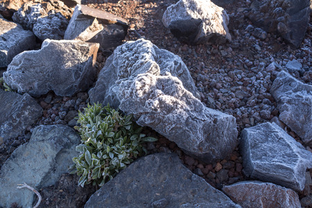 Lava stones covered by thin layer of an ice, together with a plants with ice on the silhouette of the leaves. Cold spring morning in Teide National Park. Tenerife, Canary Islands, Spain.