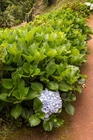 Bushes of the hydrangea (hortensia) plants, growing in the nature. They are symbol of the islands. Park in Nordeste, Sao Miguel, Azores Islands, Portugal. Stock Photo