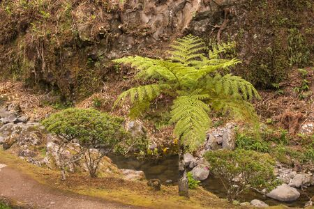 Fern trees, looking like from prehistoric period, growing in a natural park in Nordeste, Sao Miguel, Azores Islands, Portugal. Imagens