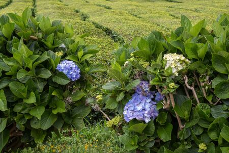 Area of a tea factory. Blooming flowers, including the popular hydrangea, lining the tea bushes. Sao Miguel, Azores Islands, Portugal. Stock Photo