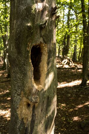 Detail of a tree trunk with a new hole done probably by woodpecker, which will be used in the winter by animals. Forest in the late summer, Modra, Little Carpathian Mountains, Slovakia.