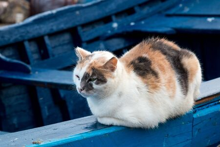 Adult cat with white fur with orange and black spots, sitting on the edge of a wooden blue boat in a port. Essaouira, Morocco.