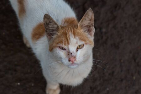 Look into the camera of a white cat with an orange spots. Bright pink nose. Soil of the port in the background. Essaouira, Morocco.