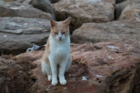 White young cat with orange spots, sitting on a rock in a port, sleepy in the morning. Essaouira, Morocco.