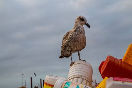 Early morning in the fishing port. Seagull sitting on a pile of colorful empty plastic bottles. Autumn cloudy sky. Essaouira, Morocco.