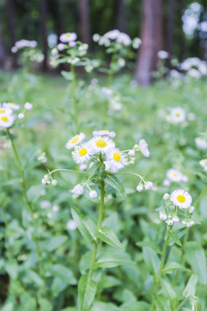 Flower of Erigeron photo