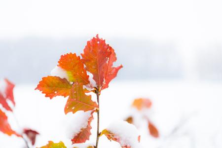 Snowfall and Autumn leaves, in Obihiro in Hokkaido, Japan