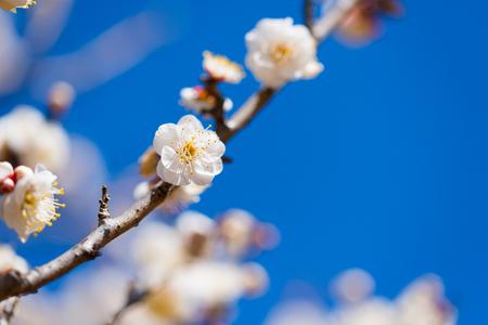 Japanese White Plum in Tachikawa, Tokyo, Japan