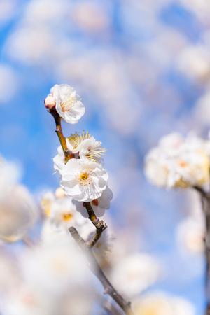 Japanese White Plum Flowers, in Tachikawa, Tokyo, Japan Stock Photo