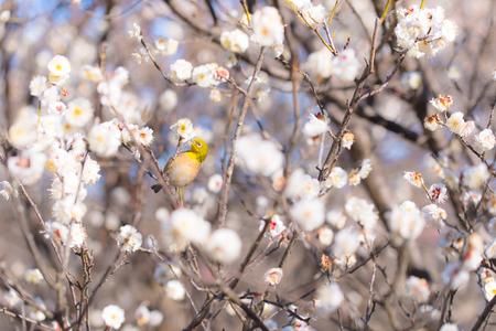 Japanese White-eye bird and White Plum in Tachikawa, Tokyo, Japan Stock Photo