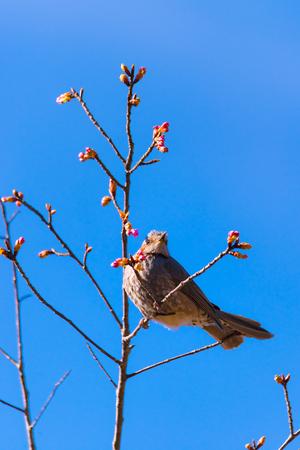 Brown-eared Bulbul bird, in Tachikawa, Tokyo, Japan