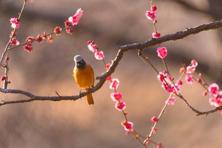 Daurian redstart bird and Japanease Red Plum Flowers, in Tachikawa, Tokyo, Japan Stock Photo