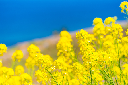Rapeseed Flowers, at The One Thousand Rice Fields, in Noto, Ishikawa, Japan