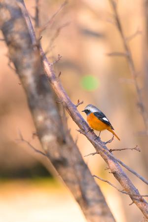 Daurian redstart bird, in Tachikawa, Tokyo, Japan
