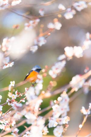 Daurian redstart bird and Japanese White Plum Flowers, in Tachikawa, Tokyo, Japan