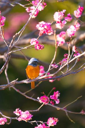 Daurian redstart bird and Japanese Red Plum Flowers, in Tachikawa, Tokyo, Japan