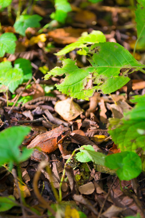 Small Frog in the Forest of Oirase, Aomori, Towada-Hachimantai National Park, Japan
