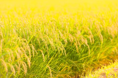 Padiegebied in Shonai-Vlakte, Yamagata, Japan Stockfoto