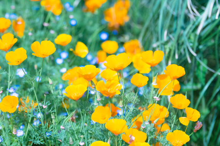 showa: California Poppy Flowers, in Showa Memorial Park, Tokyo, Japan