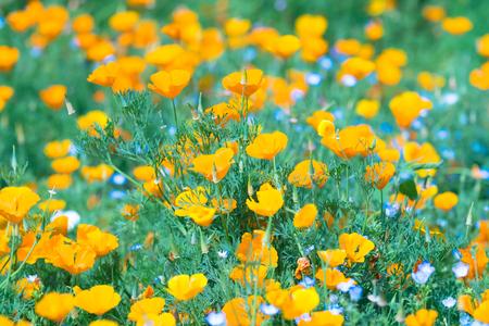 California Poppy Flowers, in Showa Memorial Park, Tokyo, Japan