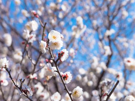 showa: Japanese White Plum in Tachikawa, Tokyo, Japan