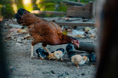 Chicks & Mother Hen Are Scavenging For Food 스톡 콘텐츠