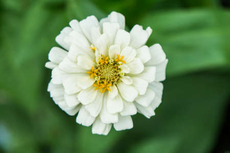 Beautiful White Flower Blooming In The Garden Zdjęcie Seryjne