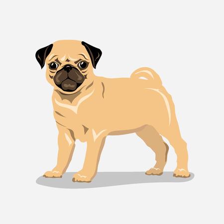 pug at white background