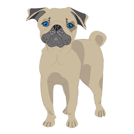 pug dog at white background