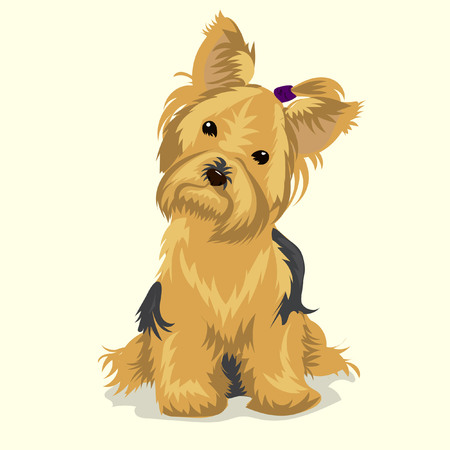 yorkshire terrier at white backgound