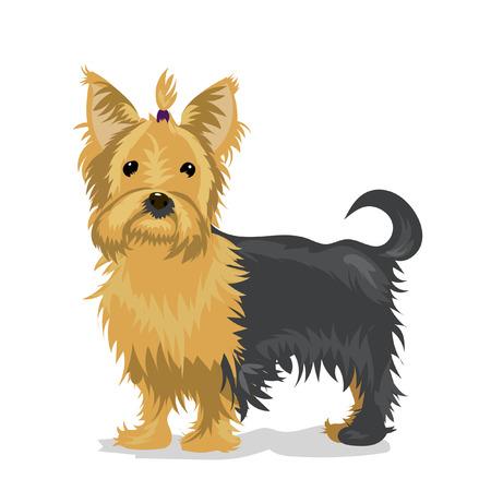 yorkshire terrier: yorkshire terrier at white background Illustration