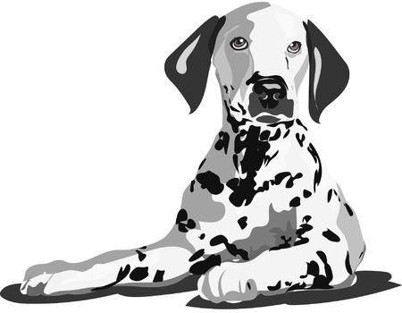 lay: dalmatian dog lay