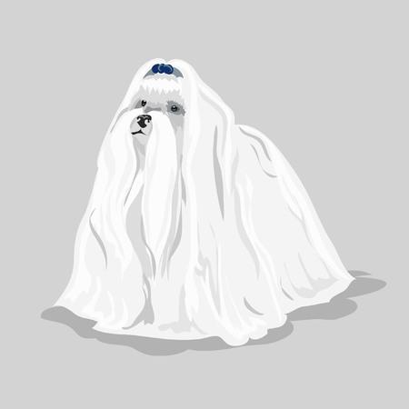 shaggy: white maltese dog