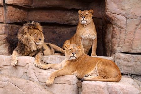 cruel zoo: The male lion and two lionesses resting on the rocks Stock Photo