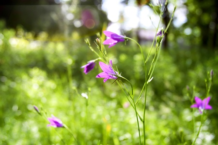 beautiful purple wildflowers in the grass on a summer day Stock Photo