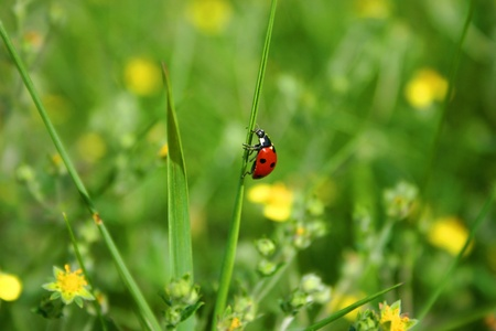 ladybug crawling on a green blade of grass on a summer day