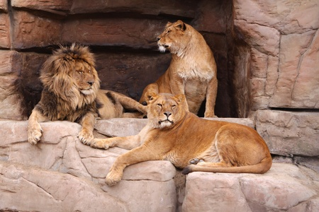 The male lion and two lionesses resting on the rocks Stock Photo